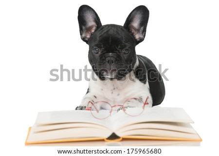 French bulldog puppy with a book