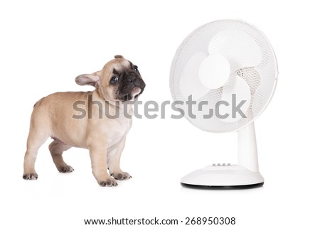 french bulldog puppy with a fan - stock photo