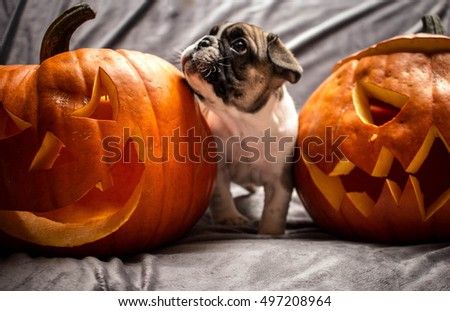 French Bulldog Puppy with Halloween Pumpkins