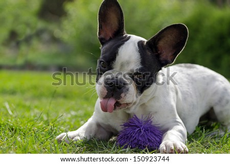 French bulldog puppy with toy
