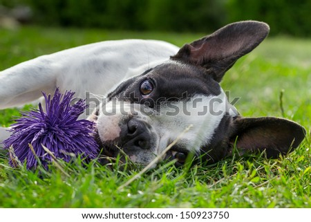 French bulldog puppy with toy - stock photo