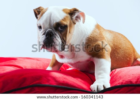 French bulldog resting in a red pillow