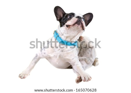 French bulldog scratching his ears over white background - stock photo