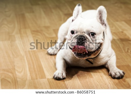 french bulldog showing the tongue indoor - stock photo