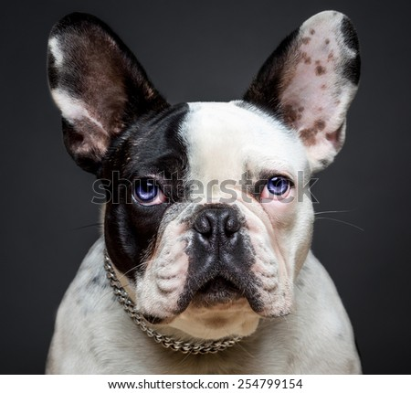 French bulldog sit and pose for camera on white table - stock photo