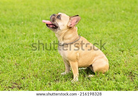 French Bulldog sit on the green grass - stock photo