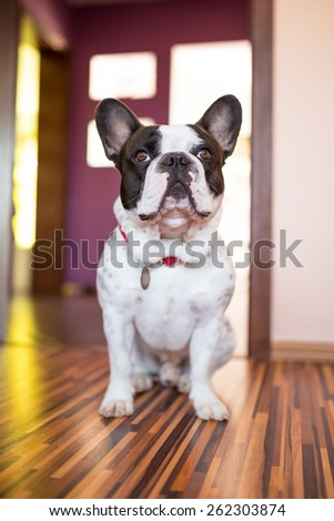 French bulldog sitting on the floor - stock photo