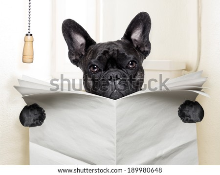 french bulldog  sitting on toilet and reading newspaper - stock photo