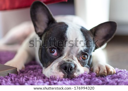 French bulldog sleeping on the carpet' - stock photo
