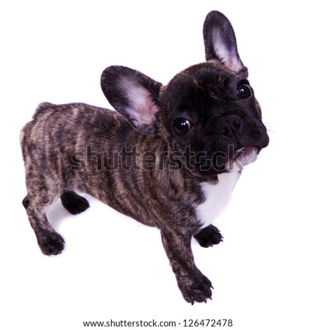 french bulldog stand - isolated on white - stock photo
