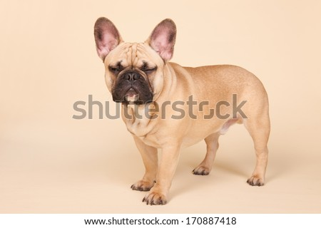 French bulldog standing angry in studio on blue background