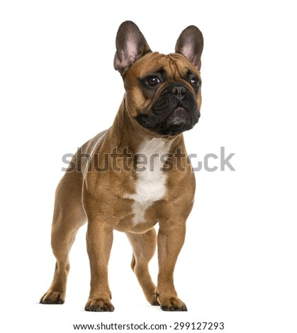 French Bulldog standing in front of a white background