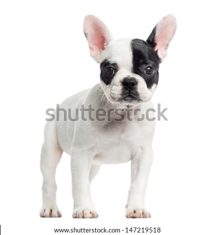 French bulldog standing, looking at the camera, isolated on white - stock photo