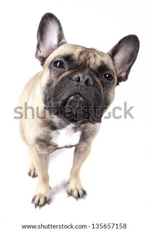 French Bulldog Staring - stock photo