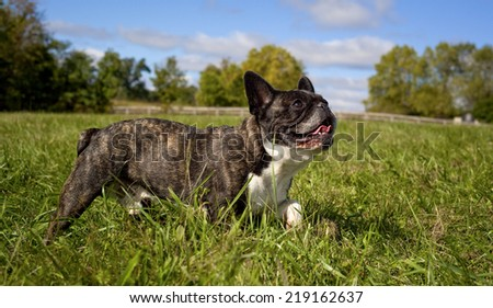 French bulldog striding through green grass with blue sky