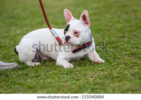 French bulldog training in the park - stock photo