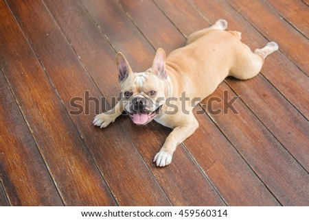 French Bulldog Waiting to eat dog snack on wooden floor.