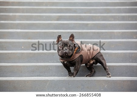 french bulldog waring winter coat - stock photo