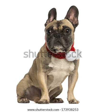 French bulldog wearing a christmas scarf, sitting, isolated on white