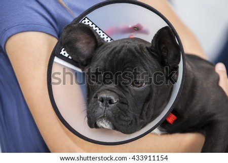 French Bulldog Wearing Cone Held By Girl