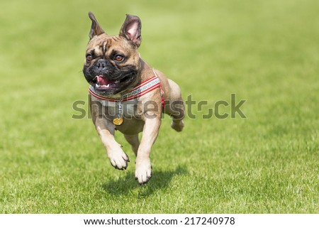 French bulldog whelp runs on a lawn - stock photo