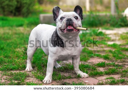 French Bulldog white color with dark spots on the green grass with a pipe in his mouth