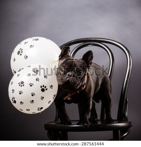french bulldog with birthday balloons - stock photo