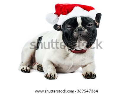 french bulldog with christmas hat, isolated on white in studio, color, and  composition.