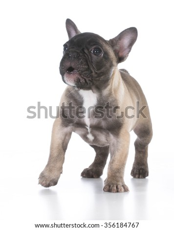 french bulldog with cute expression standing on white background
