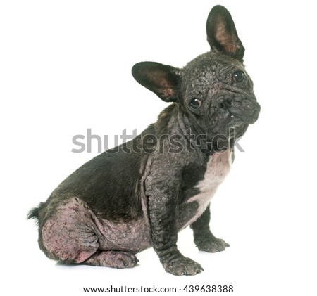 french bulldog with Demodicosis in front of white background - stock photo
