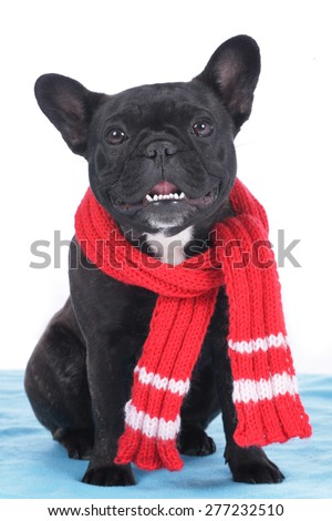 French bulldog with scarf sitting on a blue blanket - stock photo