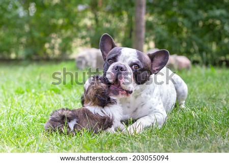 French bulldog with shih tzu puppy on the grass