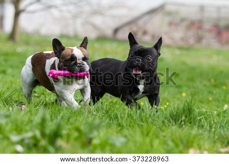 French bulldog with toys
