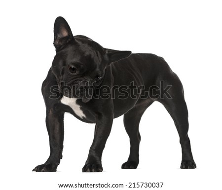 French Bulldog (6 years old)