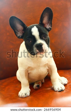 French Bulldog, 1 years old,