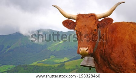 French cow with bell staring at the photographer with misty mountain in background - stock photo
