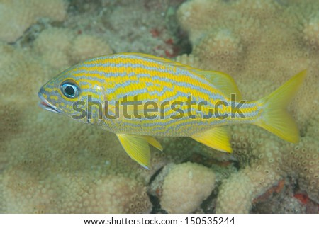French grunt on coral back drop - stock photo