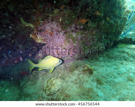 French grunt under a rock overhand covered in purple coral on the wreck of the Copenhagen off Pompano Beach in Fort Lauderdale, Florida - stock photo
