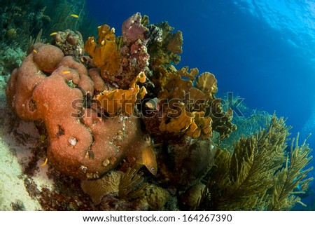 French grunts hiding around a coral head - stock photo