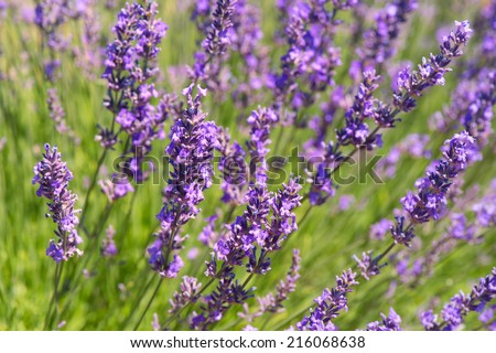 French lavender field in the south of France