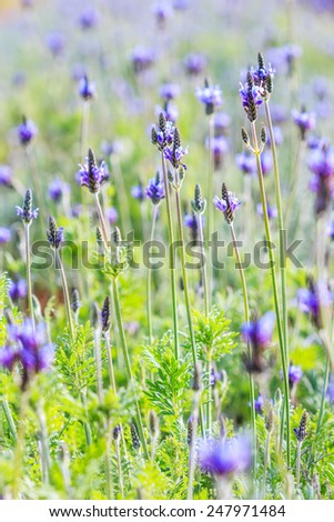 French lavender flowers - stock photo
