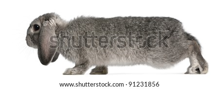 French Lop rabbit, 2 months old, Oryctolagus cuniculus, in front of white background