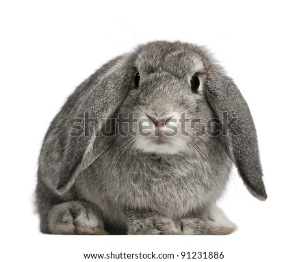 French Lop rabbit, 2 months old, Oryctolagus cuniculus, sitting in front of white background - stock photo