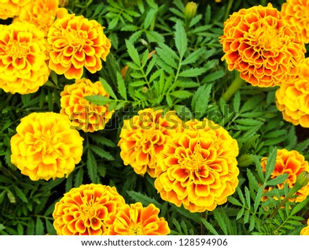 French marigold flower or Tagetes patula