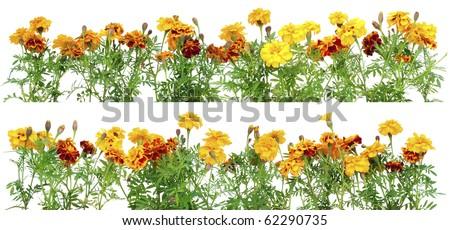 French Marigold Petite Orange (Tagetes patula) flowers set border  isolated on white - stock photo