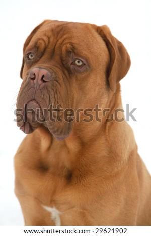 French Mastiff, Bordeaux Bulldog - stock photo