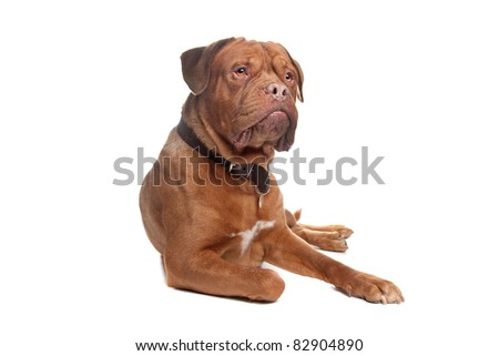 French mastiff in front of a white background