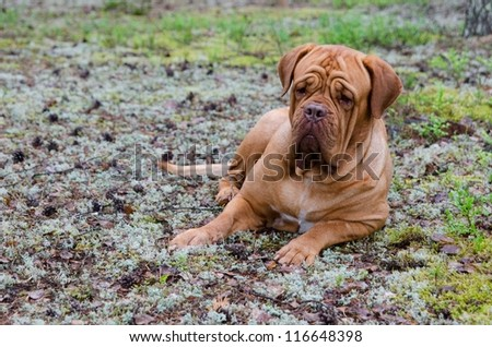 French mastiff lying in the pine forest - stock photo