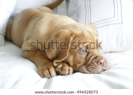 French Mastiff puppy on bed about to sleep