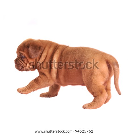 French Mastiff puppy walking isolated